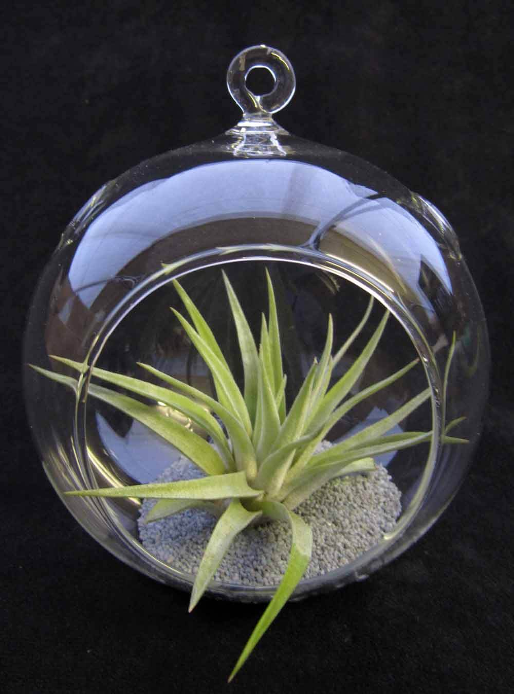 Airplant Hanging Glass Globe Terrarium Kit A